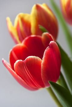 Windowsill Tulips