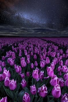 The tulip fields in the Netherlands on a beautiful night.