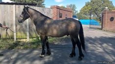 15 hh, broken to drive and proved safe and quiet, lightly backed to ride again proving easy. Fantastic breeding being by stock.. Straight moving with plenty of bone. Only for sale as not forward going enough for the driving we do and we feel he would be happier as either a stud stallion for both welsh or color enthusiasts. Horses For Sale, 5 Year Olds, Welsh, Hamilton, Animals, Color, Animales, Welsh Language, Animaux