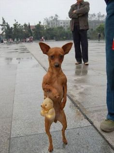 red min pin, like my little Kiba!!  And yes...its true, they are very good at walking on hind legs :)