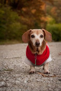 This is Priscilla at She died later in 2017 after a wonderful life. Brown Dachshund, Baby Dachshund, I Love Dogs, Cute Dogs, Dog Heaven, Sausage Dogs, Weenie Dogs, Wonderful Life, Old Dogs