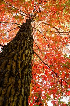 Looking Up At Canopy Of Red, Orange And Green Leaves On A Tree by Kelli Seeger Kim for Stocksy United Cool Pictures, Beautiful Pictures, Autumn Scenery, Tree Leaves, Tree Art, Trees To Plant, Beautiful Landscapes, Mother Nature, Nature Photography
