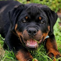 The Rottweiler is a robust working breed of great strength descended from the mastiffs of the Roman legions. A gentle. Rottweiler Breed, Rottweiler Love, Funny Dogs, Cute Dogs, Funny Animals, Dog Died, Interactive Dog Toys, Dog Selfie, Beautiful Dogs