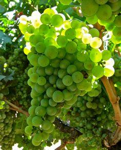 Marsanne:  Ripken's Guard Rd. vineyard; Lodi AVA
