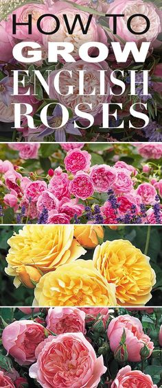 How to Grow English Roses How to Grow English Roses! Be prepared for a new gardening obsession as we teach you how to grow English roses the best varieties we love (and where to get them!) The post How to Grow English Roses appeared first on Garden Ideas. Beautiful Gardens, Beautiful Flowers, Exotic Flowers, Purple Flowers, Garden Wallpaper, Growing Roses, David Austin Roses, Garden Shrubs, Shade Garden