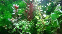 35 plantas de acuario en vivo colección de plantas acuáticas para su tanque de peces - Plantas de acuario Plantar, Ideas, Aquariums, Tanks, Thoughts