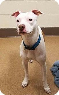Apple Valley, CA - American Pit Bull Terrier/Terrier (Unknown Type, Medium) Mix. Meet Bella
