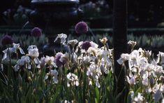 Alliums and Irises Portfolio garden 8 - Arne Maynard Garden Design