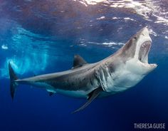 Amazing Shark Photos from our 2016 Underwater Photography Contest great white shark mexico underwater photography scubagreat white shark mexico underwater photography scuba Underwater Animals, Underwater Creatures, Underwater Photos, Ocean Creatures, Underwater Photography, Ocean Underwater, Under The Water, Shark Pictures, Shark Photos