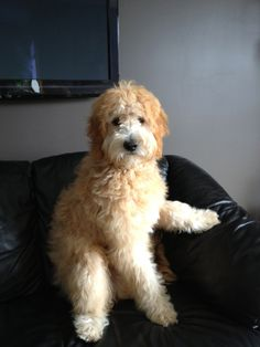 Soft, soft, soft is this gorgeous goldendoodle.