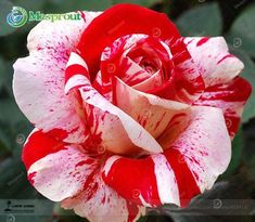 Rare Mixed 100 rose flower seeds Strong beautiful Fragrant Garden Rose Flower bonsai plant seeds easy to plant Rare Roses, Rare Flowers, Exotic Flowers, Exotic Plants, Shrub Roses, Rainbow Roses, Hybrid Tea Roses, Blooming Plants, Ornamental Plants