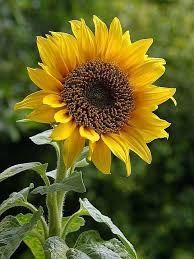 Kuvahaun tulos haulle auringonkukka