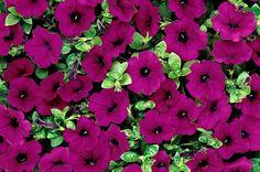 Top 10 Award-Winning Hummingbird Flowers: Purple Wave petunia