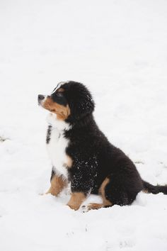 Bernese Mountain Dog puppy sitting in snow, lifestyle dog photography, ©️Colorado Dog Portraits
