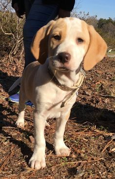 Check out Blitz's profile on AllPaws.com and help him get adopted! Blitz is an adorable Dog that needs a new home. https://www.allpaws.com/adopt-a-dog/yellow-labrador-retriever-mix-beagle/7405272?social_ref=pinterest