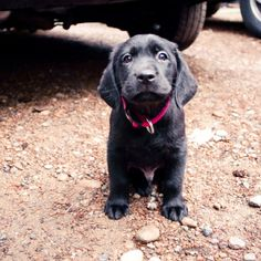 black lab puppy, almost makes me want a dog.