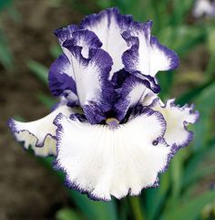 Freedom Song | Blue Iris
