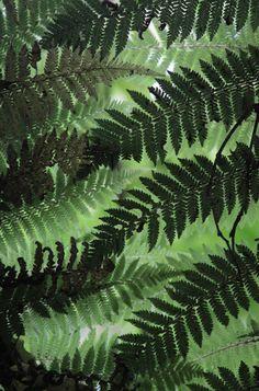 Ferns GREAT ONE