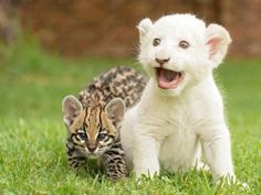 Adorable baby Lion and Ocelot. I've never seen an ocelot! Big Cats, Cats And Kittens, Cute Cats, Cute Baby Animals, Animals And Pets, Funny Animals, Wild Animals, Nature Animals, Beautiful Cats
