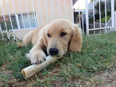 happiness is a faux cheese filled bone