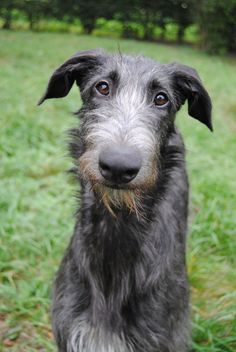 Irish Wolfhound. What a sweet face.