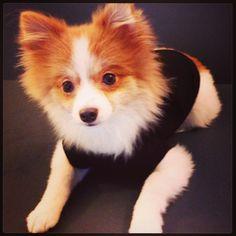 Sebastian the pomeranian dog is so photogenic!!! Such a cute little puppy!  www.fetchdogfashions.com