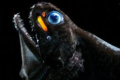 A species of deep sea dragon fish, Pachystomias microdon, that can see and emit far red light using organs, called photophores, below its eyes. Credit: Edith Widder, Ocean Research & Conservation Assoc.