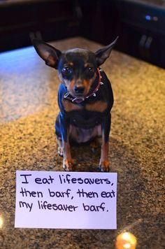 Dog Shaming features the most hilarious, most shameful, and never-before-seen doggie misdeeds. Join us by sharing in the shaming and laughing as Dog Shaming reminds us that unconditional love goes both ways. Mini Pinscher, Miniature Pinscher, Doberman Pinscher, Puppies And Kitties, Chihuahua Puppies, Doggies, I Love Dogs, Puppy Love, Cute Dogs