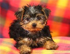 Miniature Yorkie Yorkshire Terrier