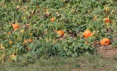 Pumpkin farm in Indiana ready for harvesting – GSN Photography