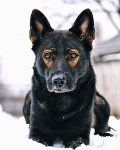 Wicked Training Your German Shepherd Dog Ideas. Mind Blowing Training Your German Shepherd Dog Ideas. German Shepherd Photos, German Shepherd Puppies, German Shepherds, Black Sable German Shepherd, I Love Dogs, Cute Dogs, Bulldog Breeds, Dog Activities, Service Dogs