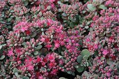 Liten kärleksört, Hylotelephium cauticola