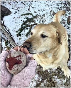 REDNEVAL Labrador Retriever, In This Moment, Dogs, Animals, Labrador Retrievers, Animales, Animaux, Doggies, Animais