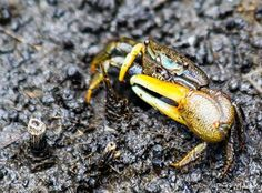 Neon Fiddler Crab  O'Malley Photography