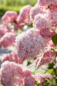 The reliable Hydrangea Annabelle that everyone knows and loves now comes in pink! Invincibelle Spirit is a hardy, very easy to grow shrub suitable for any garden. It will bloom each year, regardless of pruning or extremes of weather. Hortensia Hydrangea, Hydrangea Garden, Pink Hydrangea, Pink Garden, Dream Garden, Hydrangeas, Hydrangea Bush, Garden Care, Pink Flowers