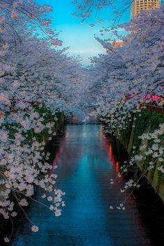 Cae la noche sobre las flores de Sakura en Neka Meguro,Tokyo, Japón