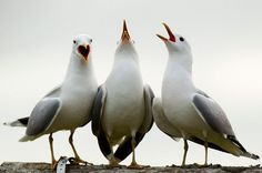 All together now - Gulls just wanna have funnnn
