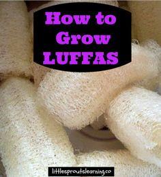 Growing Luffas