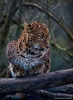 Les 232 meilleures images du tableau jaguar sur pinterest jaguar animals beautiful et - Bebe du jaguar ...