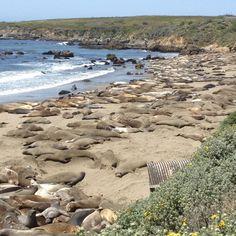 Cambria, California ... lots of elephant seals!