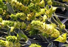 Freepen.gr: ΤΟ ΑΛΤΣΧΑΙΜΕΡ ΒΡΗΚΕ ΤΟ ΜΑΣΤΟΡΑ ΤΟΥ! Το ταπεινό ελληνικό βότανο που το εξαφανίζει
