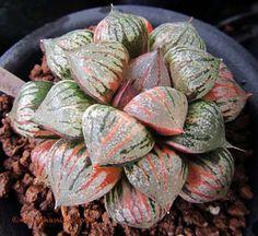 Haworthia 'Sweet Candy'