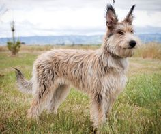 New to the AKC world, but an ancient breed, is the Berger Picard — a charming, rustic herding and general-purpose farm dog from northern France.