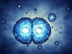 Rendering of mitosis. The process of mitosis is extremely precise; when it comes to manipulating DNA, cells verge on being obsessive and with good reason. Gaining or losing a chromosome during cell division can lead to cell death, developmental disorders, or cancer. (Credit: © nobeastsofierce / Fotolia)