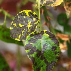 Black Spot Fungus on Rose Bushes