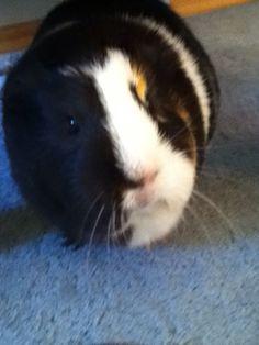I love GUINE PIGS