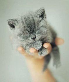Gray kitten via Classy Woman