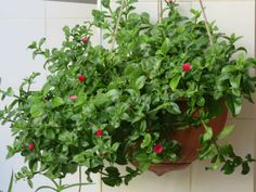 Aptenia cordifolia (Baby Sun Rose) is a mat-forming perennial, growing in flat clumps from a woody base. Palm Plant Care, Rose Plant Care, Succulent Ground Cover, Ground Cover Plants, Blooming Succulents, Planting Succulents, Hanging Plants, Indoor Plants, Plantas Indoor