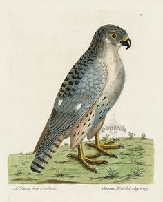 Albin Falcon from Barbarie from Eleazar Albin Engraving Bald Eagle, Horned Owl, Raven, Rook, Blackbird