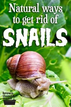 Nobody wants snails and slugs in their garden. Whether you're growing vegetables or flowers, these gooey gastropods destroy seedlings, munch holes in plants, and can ruin your garden in short order. Here are 8 safe, natural ways to get rid of snails and slugs in your garden. #gardening #vegetablegardening #organicgardening #gardenpests #ecofriendly #natural Planting Vegetables, Organic Vegetables, Growing Vegetables, Vegetable Gardening, Gardening For Beginners, Gardening Tips, Getting Rid Of Earwigs, Strawberry Beds, Growing Tomatoes In Containers